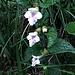 Melittis melissophyllum L.<br />Lamiaceae<br /><br />Erba limona comune.<br />Mélitte à feuilles de mélisse.<br />Immenblatt.