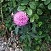 Cardus defloratus L.<br />Asteraceae<br /><br />Cardo dentellato. <br />Chardon décapité.<br />Gewöhnliche Berg-Distel.