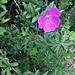 Geranium sanguineum L.<br />Geraniaceae<br /><br />Geranio sanguigno.<br />Géranium sanguin.<br />Blutroter Storchschnabel.