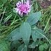 Centaurea jacea L. s.str.<br />Asteraceae<br /><br />Fiordaliso stoppione.<br />Centaurée jacée.<br />Gewöhnliche Wiesen-Flockenblume.