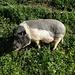 An der Thur in Ebnat-Kappel geniesst ein Schweinchen das frische Grünzeug