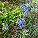 Voralpenkreuzblume