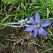 Blumensimse, sehen wir heute zum ersten Mal