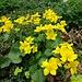 Das Gelb der Sumpfdotterblumen erfreut uns immer wieder