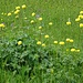 Trollblumen mit ihren prallen Köpfen