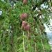 Junge Lärchenzapfen in zarten Rottönen