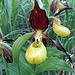 schon bald erblickten wir die ersten Frauenschuhe. Vom Orchideenhaus auf der Mainau abgesehen, haben wir sie noch nie in der Natur angetroffen. Ihr Vorkommen beschränkte sich nicht nur auf eine gewisse Höhenlage, sondern zog sich über mehrere Hundert Höhenmeter hoch