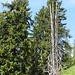 Zehn Meter weiter oben steht diese markante Baumleiche.