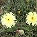 <b>Boccione maggiore (Urospermum dalechampii).</b>