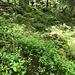 Heidelbeeren und Moose prägen den mystischen Risoux-Wald
