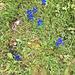 hübsche Enziane auf der Weide
