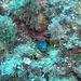 <b>Murena (Muraena helena), foto d'archivio del 14.9.2005.</b>