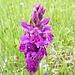 wir finden eine Orchideenwiese
