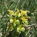 Buntes Läusekraut, Oeders Läusekraut, Pedicularis oederi