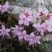 Lieblingsblumen..und alle blühten aufeinmal! / Fiori preferiti e tutti erano in fiore