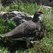 Alpenschneehahn,  Lagopus muta auf der Suche nach..../ Gallo di pernice bianca in ricerca di....