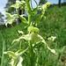 Grünliches Breitkölbchen (Platanthera chlorantha)