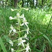 Weisses Breitkölbchen (Platanthera bifolia)