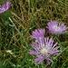 Centaurea - Scarlina