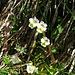 .. so lauert das Alpen-Fettkraut (Pinguicula alpina) auf Beute