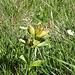 """Gentiana praecox? <br />Sehr früh blühender Tüpfel-Enzian (Wikipedia: """"Die Blütezeit erstreckt sich je nach Standort von Juli bis September."""")"""