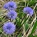 """Von denen gab's ein """"Nest"""" gleich an der Passhöhe. Man sagte mir, dass es sich dabei um nacktstängelige Kugelblumen (Globularia nudicaulis) handelt. Wenn mich jemand nach meiner Lieblingsfarbe fragen würde: Das ist sie!"""
