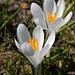 Frühlingszeit ist Krokuszeit!