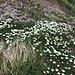 Blumenteppich - vor der dahinter befindlichen Felsstufe