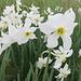 Narcisi (Narcissus poeticus).