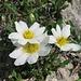 Weiße Silberwurz, Dryas octopetala, jedes Frühjahr so schön! / Quanto è bella ogni primavera!