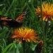 Bergwiesen voller Gold-Pippau (Crepis aurea) mit vielen Schmetterlingen....ein Traum! / I prati in montagna coperti del Crepis aurea e con tante farfalle: un sogno unico!