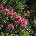 Die Alpenrosen blühen dieses Jahr schon früh! / Presto in fiore quest`anno: il rododendro
