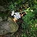 Silene pratensis (Rafn) Godr.<br />Caryophillaceae<br /><br />Silene bianca.<br />Silène des prés.<br />Weisse Waldnelke.