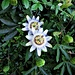 Passiflora cerulea L.<br />Passifloraceae<br /><br />Passiflora.<br />Passiflore.<br />Passionblumen.