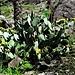Opuntia humifusa (Raf.) Raf.<br />Cactaceae<br /><br />Fico d'India nano.<br />Figuier d'Inde.<br />Gemeiner Feigenkaktus.