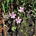Saponaria ocymoides L.<br />Caryophillaceae<br /><br />Saponaria rossa.<br />Saponaire rose.<br />Rotes Selfenkraut.