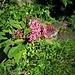 Spiraea japonica L. f.<br />Rosaceae<br /><br />Spirea del Giappone.<br />Spirée du Japon.<br />Japanischer Spierstrauch.