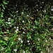 Silene rupestris L. Caryophillaceae  Silene rupestre. Silène des Rochers. Felzen-Leimkraut.