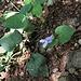 Viola odorata L.<br />Violaceae<br /><br />Viola mammola.<br />Violette odorante.<br />Wohlriechendes Veilchen.<br />