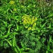 Euphorbia cyparissias L.<br />Euphorbiaceae<br /><br />Euforbia cipressina.<br />Euphorbie petit ciprès.<br />Zipressenblättrige Wolfsmilch.