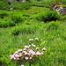 Fast weisse (Albino?)-Alpenrose