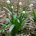 Märzenglöckchen (Leucojum vernum)