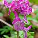 Keine Orchidee - ein Lerchensporn (Corydalis cava)