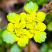 Wechselblättriges Milzkraut (Chrysosplenium alternifolium).