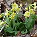 Waldschlüsselblume (Primula elatior)