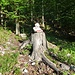 bei diesem Baumstumpf kann man die Skipiste verlassen und den Steig 615 begehen, schneller geht es vermutlich über die Piste, der Steig ist aber schattiger und nicht so steil.