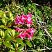 erste zarte Alpenrosen die zu blühen beginnen