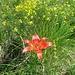 salendo dal sentiero Silvia verso il Crocione del San Martino : fiore solitario