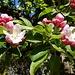 ... wo auch prächtige Obstblüten gedeihen