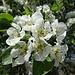 beim Hof Lämpemattneuhus finden wir diese schönen Obstblüten vor ...
